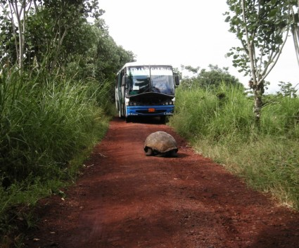 giant tortoise in the road 196316